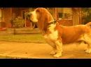 Хозяин отчаянно защитил свою собаку от двух напавших питбулей!
