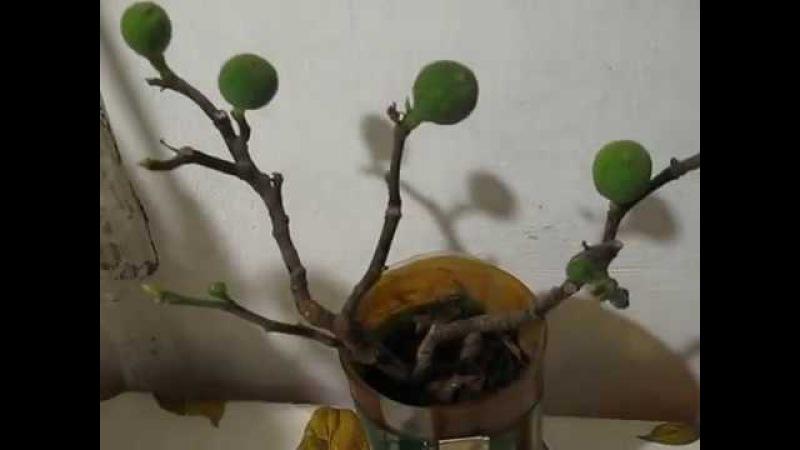 Видео 181 Цветение комнатного инжира в январе