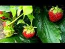 Во саду ли в огороде Что у нас растет Огород 7