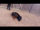 Собачьи бой Тибетский мастиф vs САО [360]
