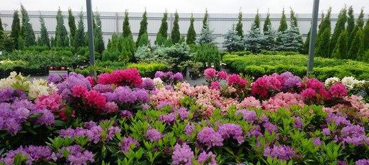 Посадочный материал цветов купить