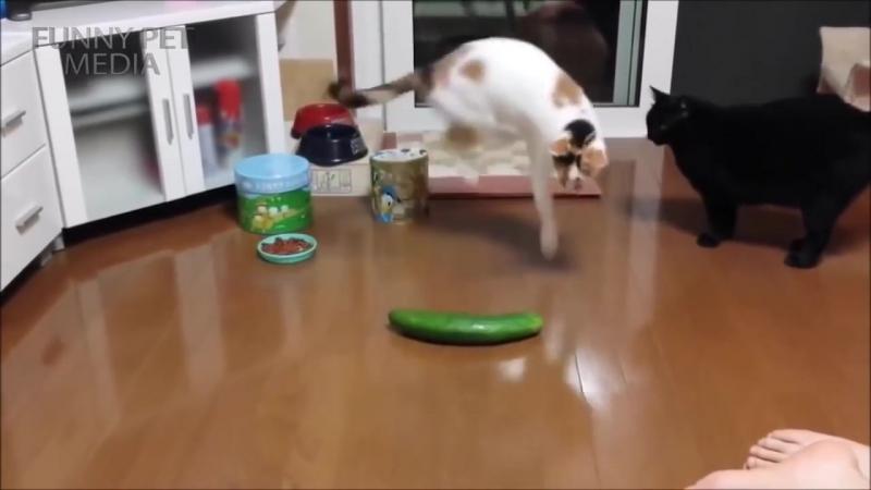 Cat VS Cucumber 😂 (HD) [Funny Pets].mp4
