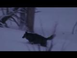 Одинокий волк -Шансон