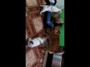 хом-видео со щеночками чихуахуа