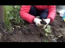 Как хранить георгины Хранение клубней в опилках