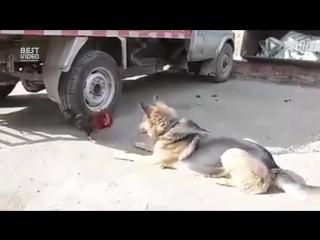 Дерзкий петух нападает на собаку