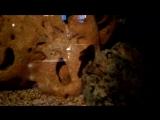 Это чистильщик в аквариуме ) ) )