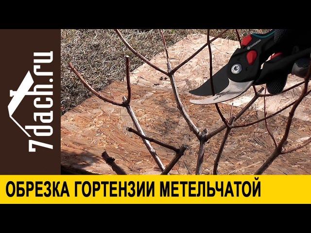 Обрезка гортензии метельчатой - 7 дач