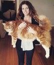 120-сантиметровый(в длину) кот Омар претендует на попадание в Книгу рекордов Гиннеса.