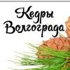 Кедры Волгограда