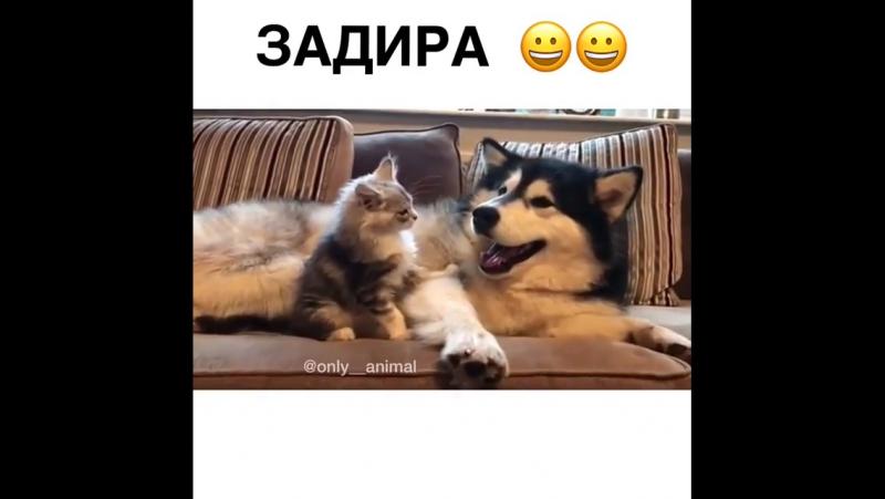 задира)