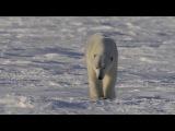 2017 $20 Fine Silver Coin - Nature's Impressions Polar Bear