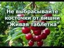 Живая таблетка Никогда не выбрасывайте косточки от вишни