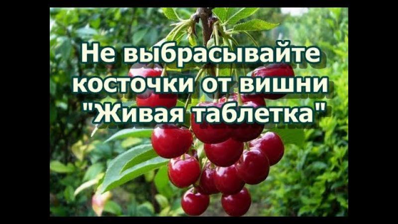Живая таблетка - Никогда не выбрасывайте косточки от вишни