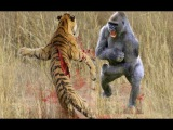 TIGER vs GORILLA