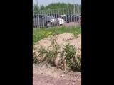 Чибис в Кудрово