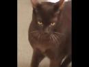 Кот гипнотизер