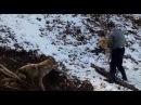 волк против собаки