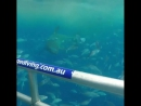 Cage-diving, нырялка с акулами в клетке