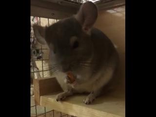 Шуш ест яблоко