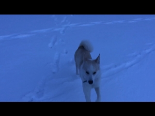 Белый волк слоумо