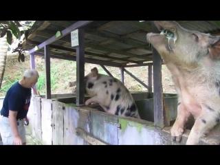 Свиньи едят пиво