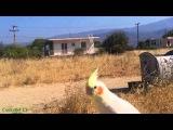 Свободный полет попугая кореллы