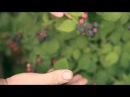Чорна малина Cumberland