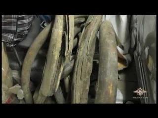В Якутии найдены похищенные бивни мамонта стоимостью 11 млн рублей