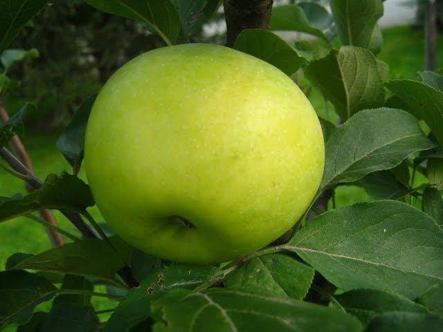 Яблоня и урожай. Отгибание ветвей на яблоне.