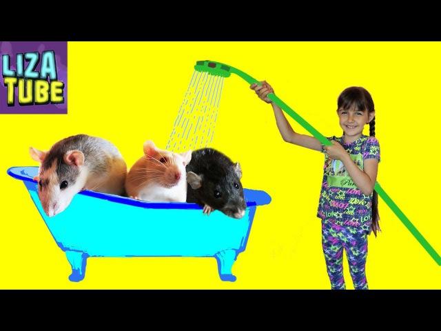 Крыски вонючки принимают ванну Купаем наших крысок хаски и дамбо 🌸 LizaTube