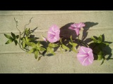 ABC TV  How To Make Cairo Morning Glory Paper Flowers From Crepe Paper - Craft Tutorial