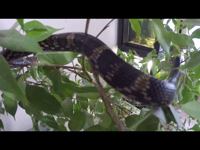 Амурский полоз ( Elaphe schrenkii )♂