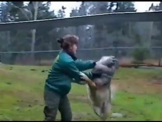 Не легкая работа с волками