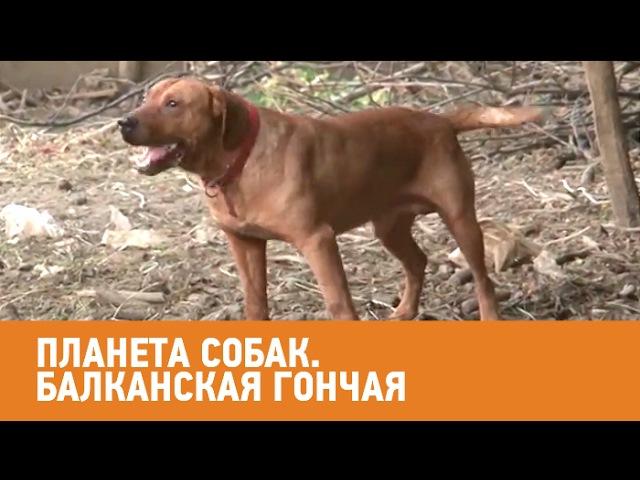 Балканская гончая. Планета собак 🌏 Моя Планета
