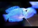 Аквариумные рыбки :Лялиус