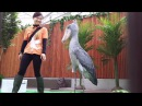 A Sound Foley Duel Shoebill Stork vs Browning Automatic Rifle