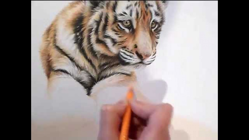 Speed Drawing. How to Draw a Tiger Cub in Colour Pencils
