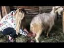 Анна Семенович доит коз