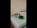 Наша кошка играет с мышкой