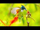 National Geographic Animals 2017 - BBC Planet Earth Birds Of Paradise | Nature Documentary 2017