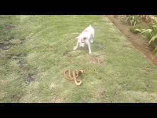 Собака vs Кобра, кто победит