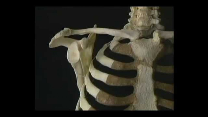 01 Ключица лопатка плечевая кость