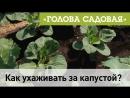 Голова садовая - Как ухаживать за капустой?