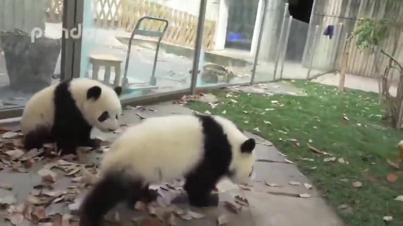 Уборщица борется с пандами