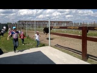 Забег наперегонки со страусом. Экскурсия на страусиную ферму.