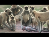 Langur_monkeys_grieve_over_fake_monkey_-_Spy_in_the_Wild__Episode_1_Preview_-_BBC_OneBBC135