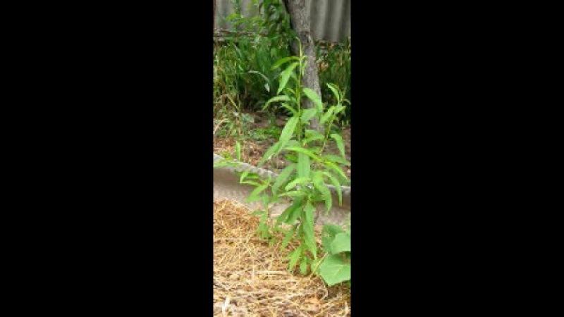 И снова о персиках как вырастить персик из косточки дома