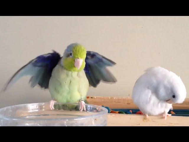 Parrotlets And Bathtime :) » Freewka.com - Смотреть онлайн в хорощем качестве
