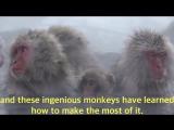 Ingenious snow monkeys